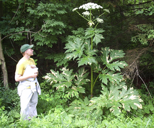 A man standing next to a giant hogweed which towers over him